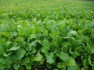 fodder rape and leafy turnip