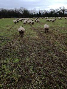 grazed cover